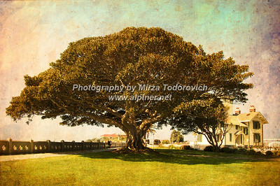 Magnificent Ficus Tree at Pt. Fermin Lighthouse - latc_0007