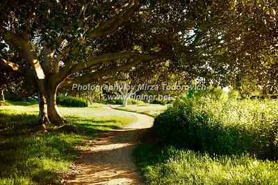 Lunada Bay Ficus Trees - latc_0017