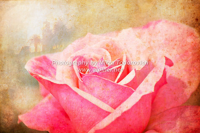 Rose with Lighthouse - latc_0001