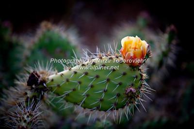Cactus Flower - latc_0047