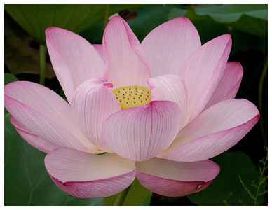 lotus_corrected