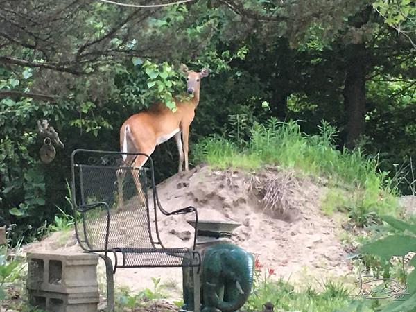 deer on sandpile-00002-IMG_9809