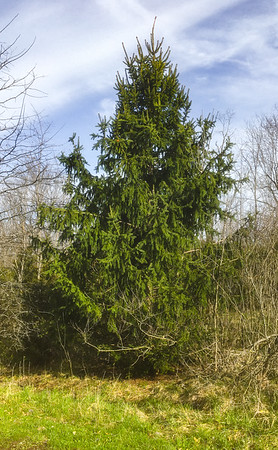 Spruce are slow growing