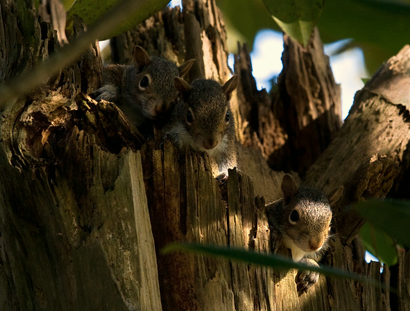 Three young eastern grey squirrels curiously peak out of their nest from within a hollowed out tree trunk in Wilmington, North Carolina October 26, 2008.