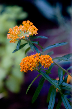 Butterfly Weed, Asclepia tuberosa, stands out in the shadows Friday evening in Greenville.  From the milkweed family, Butterfly Weed is an excellent sourse of food for Monarch butterflies and honeybees.