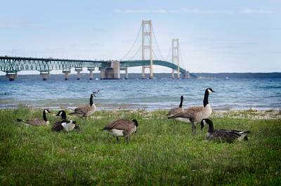 canadian geese ,beach , longest bridge