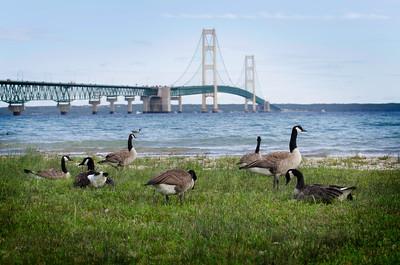 canadian geese ,beach , longest bridge