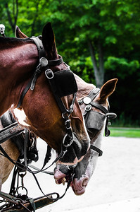carriage horses, clydesdales