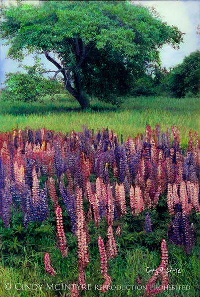Lupines St George, Maine