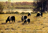Belted Galloways, Aldermere Farm, Rockport Maine