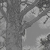 Woodpecker in Tree manipulated to pencil