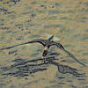 Black Skimmer photograph manipulated for pencil type output