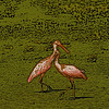 Two Roseate Spoonbills manipulated to pencil