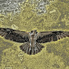 Manipulated to gold graphic of Osprey