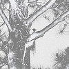 Woodpecker in Pine Tree - Manipulated