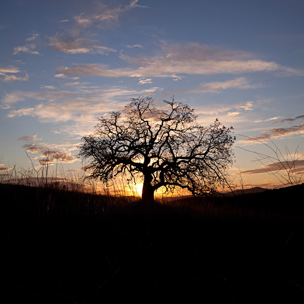 """The Oak Tree Dream"" - Since I was a young boy, I have been drawing images of a lone tree standing on a hill. The tree would be in silhouette and the sky behind would be on fire with color. It never occurred to me that I would actually find the tree in my waking life. Then, one day, while hiking near my home I looked up to see a lone oak standing off in the distance. I knew immediately that this was the tree I had been visioning for all those years.  (c) 2011"