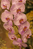 'Lavender Cascade'