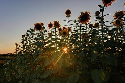 """Sunned Flowers"""