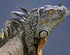 Wild Green Iguana