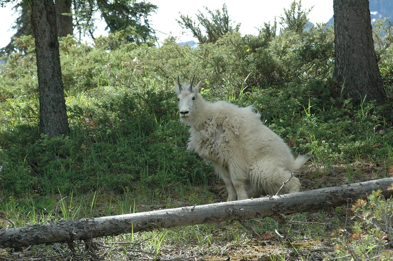 "...well, you know what he was doing and it answers the question--- ""Do mountain goats _ _ _ _ in the woods?""...."