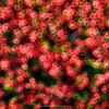 Circular pattern of red flowers