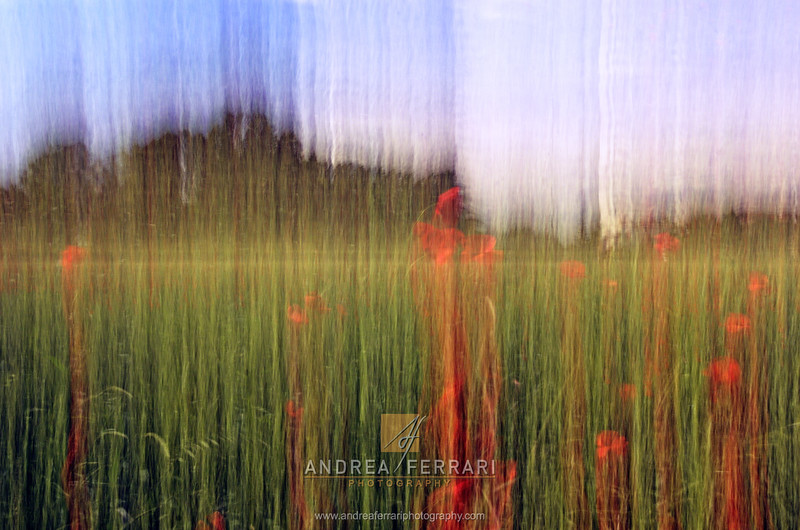 Poppies in the field 2