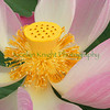 Waterlily7951 copy1