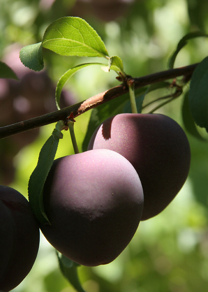 Perfect Plums