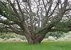 Bolinas Oak