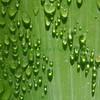 Leafdrops9325 (8x8)
