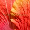 Hibiscus Petal Square
