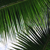 Palmleaves1140035 copy