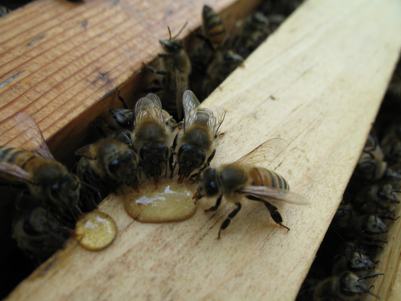 bees bellying up to the honey bar