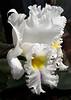 Orchid, Pompano Beach, Florida<br /> Photograph © 2012 Larry Singer