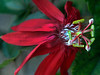 Passion Flower, Fort Lauderdale, Florida<br /> Photograph © 2012 Larry Singer
