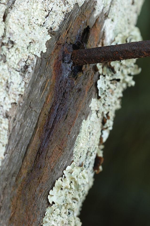 Bermuda: clou rouillé dans un arbre dont la sève a coulé. La vie à la surface de l'arbre autour de la plaie a été détruite par les écoulements qui se sont échappées du clou probablement. Probablement que l'arbre a secrété de la sève pour se protéger / An old rusting nail in the flesh of a tree. The life around the wound is diing.