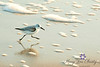 Sanderling on the Run