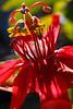 Passion Flower, Fort Lauderdale, Florida<br /> Photograph © 2012 Larry Singer