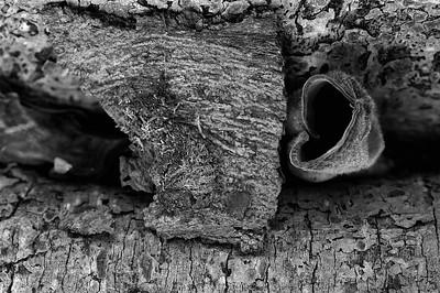 Bermuda: Morceau d'ecorce et champignon entre deux bras de racines d'un arbre coupe / mushroom and barks of tree