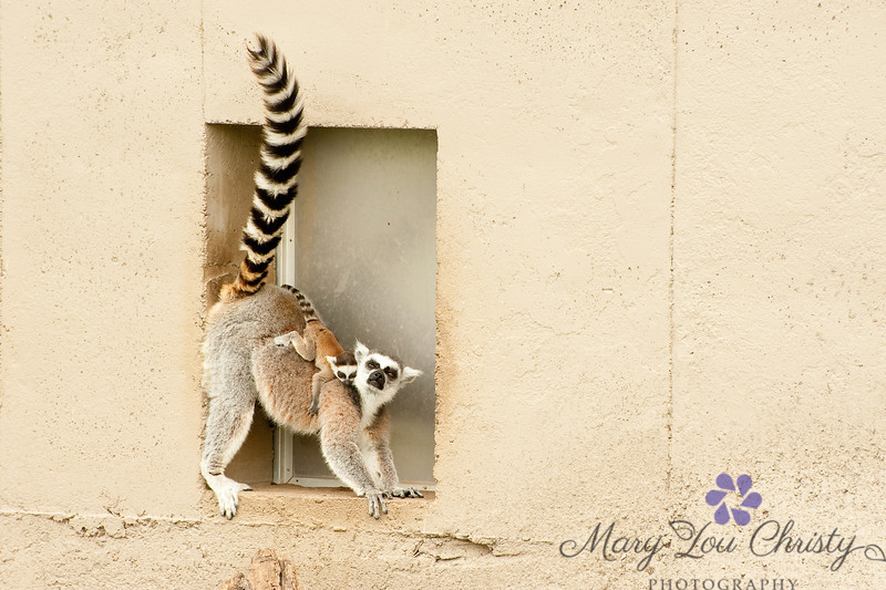 Mama and Baby Lemur