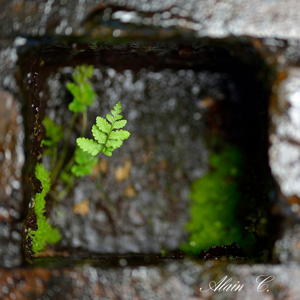 Fern of the fountain