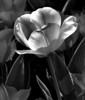 Tulip, El Dorado, Arkansas<br /> Photograph © 2012 Larry Singer