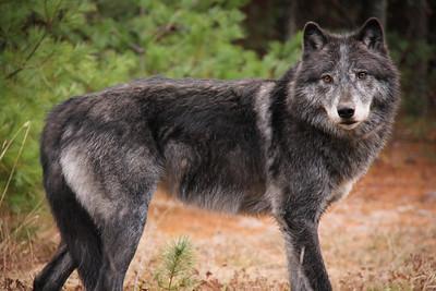 Grey Plains Wolf
