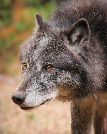 Plains Wolf Stare