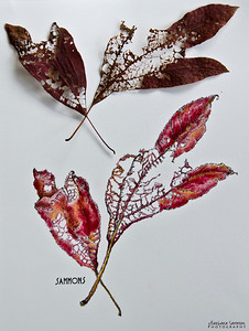 Sassafras Leaves Pen & Ink with Colored Pencil