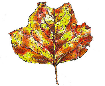 Tulip Poplar Leaf  While walking the trails at the NC Arboretum this fall, I picked up several tulip poplar leaves along with sassafras, rhododendron, oak and maple, all of which had brilliant colors as we work our way to a glorious fall.  This leaf was drawn using the stipple technique with pen and ink and then filled in with colored pencils.