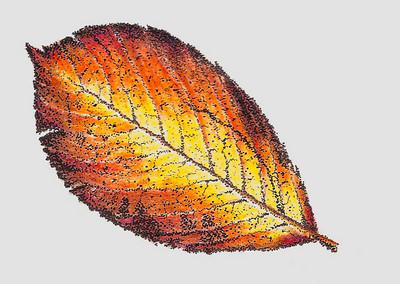 American Yellowwood  Beautiful fall colors adorn this American Yellowwood leaf.  Colored pencil with pen and ink highlights.