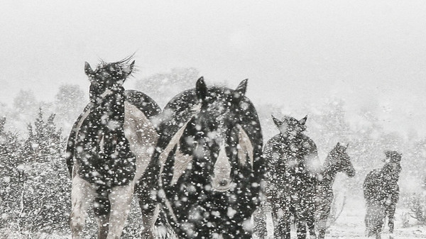 Herd coming in <br /> Snow storm Alpine Texas<br /> Where wild and domestic horses run free.<br /> Rachael Waller Photography