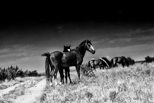"""The Road to Salvation""  Featuring two head stallions and their bands. Rachael Waller Photography wild horses"