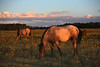 Double Roan <br /> Wild Horses<br /> Rachael Waller Photography